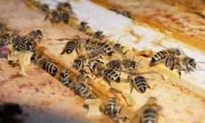 Bienen - Bild © 2017 by Thomas Petschinka